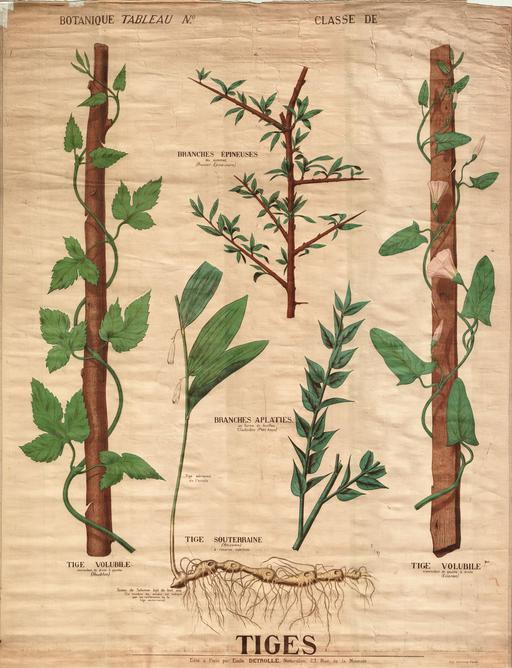 Planche botanique Deyrolle des tiges