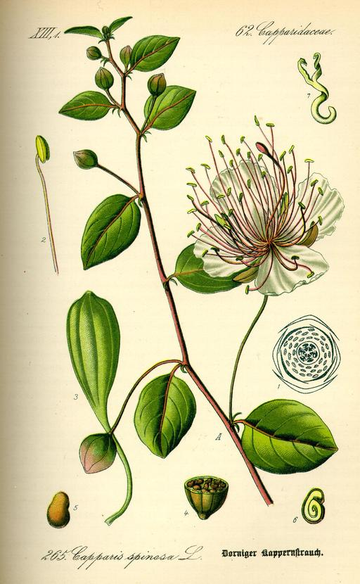 Planche botanique du câprier