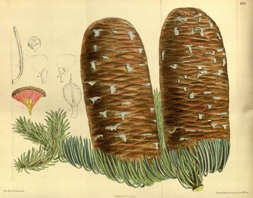 Planche botanique du sapin rouge