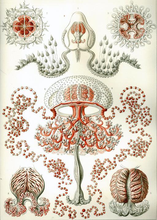 Planche d'Anthoméduses en 1904