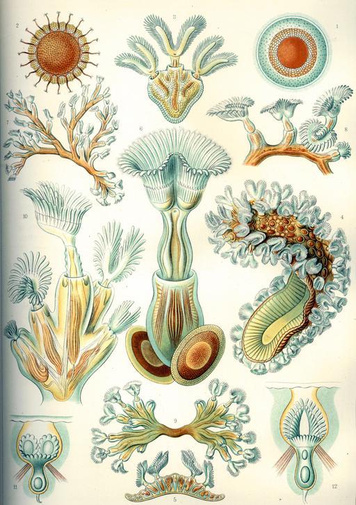 Planche de bryozoaires en 1904