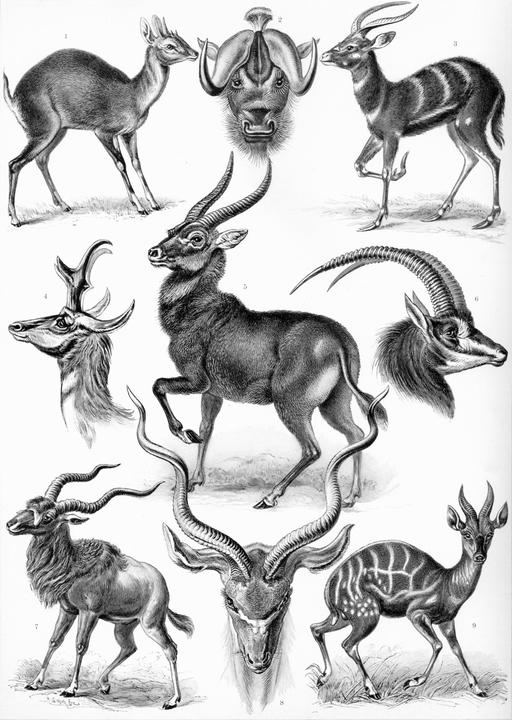 Planche de neuf antilopes en 1904