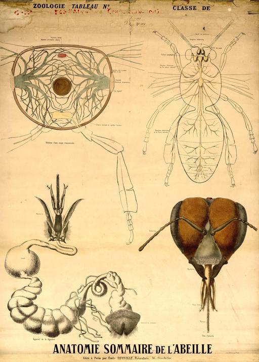 Planche Deyrolle de l'abeille