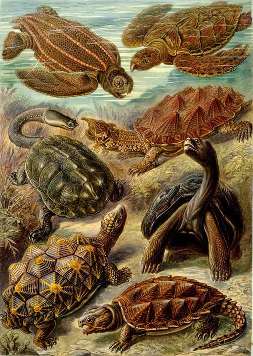 Planches de tortues Chelonia en 1904