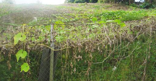 Plantation de chayottes à La Réunion