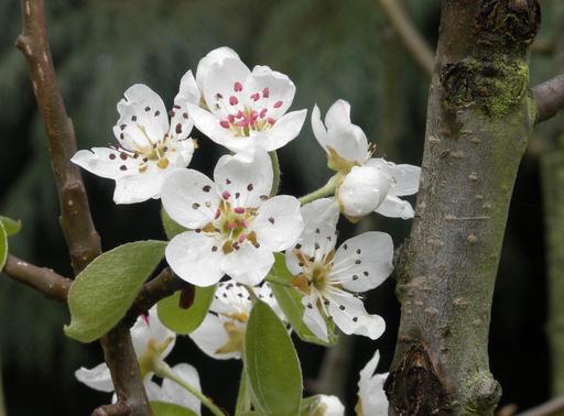 Poirier en fleurs en mars