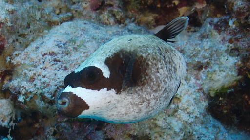 Poisson-globe masqué
