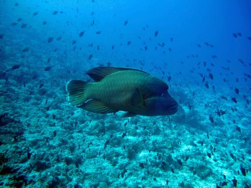 Poisson Napoléon aux Maldives