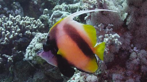 Poisson-cocher de la Mer Rouge