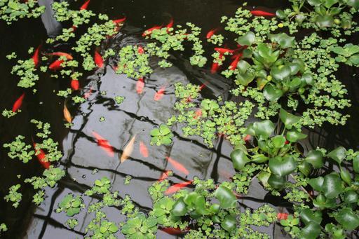 Poissons rouges au jardin botanique