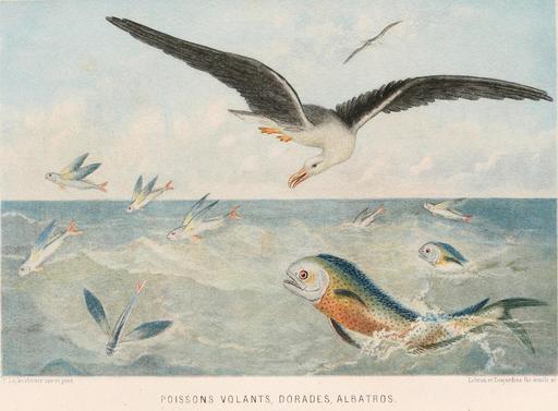 Poissons volants, dorades et albatros en 1866