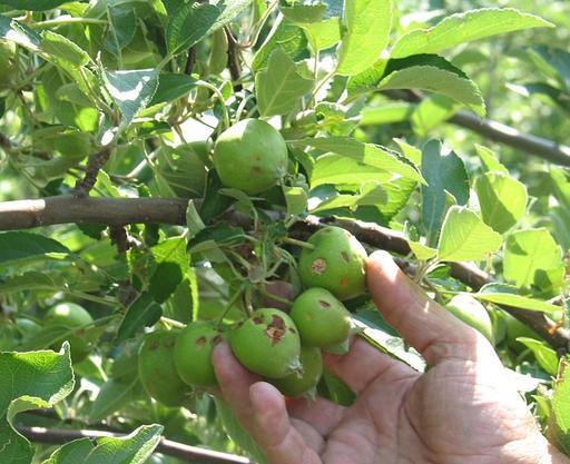 Pommes après la grêle