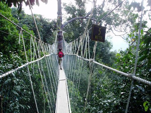 Pont suspendu au-dessus de la canopée