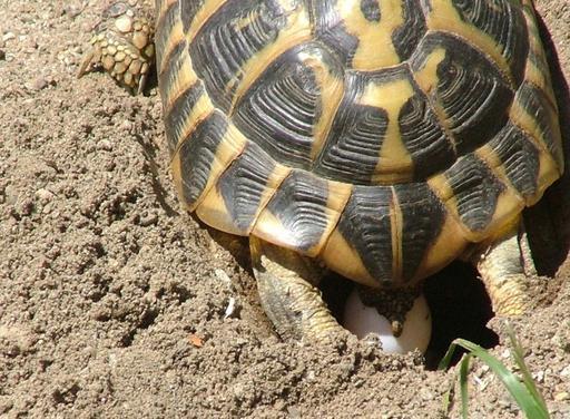 Ponte d'oeuf de tortue