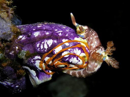 Ponte par une limace de mer sur une ascidie