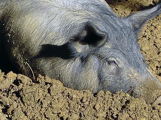 Porc dans un bain de boue