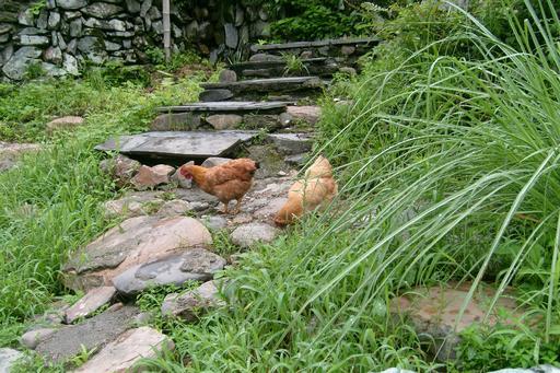 Poules en Chine