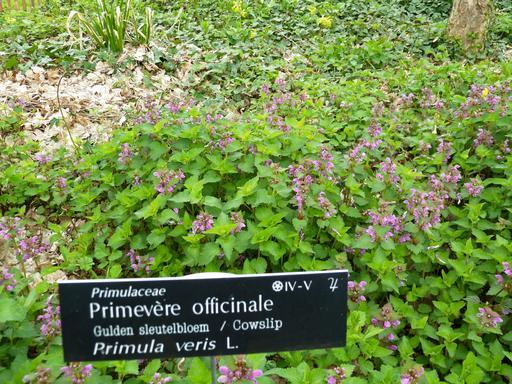 Primevères en jardin botanique