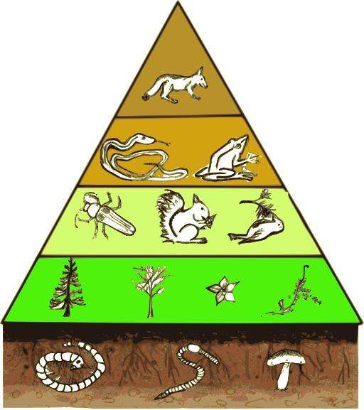 Pyramide des étages trophiques