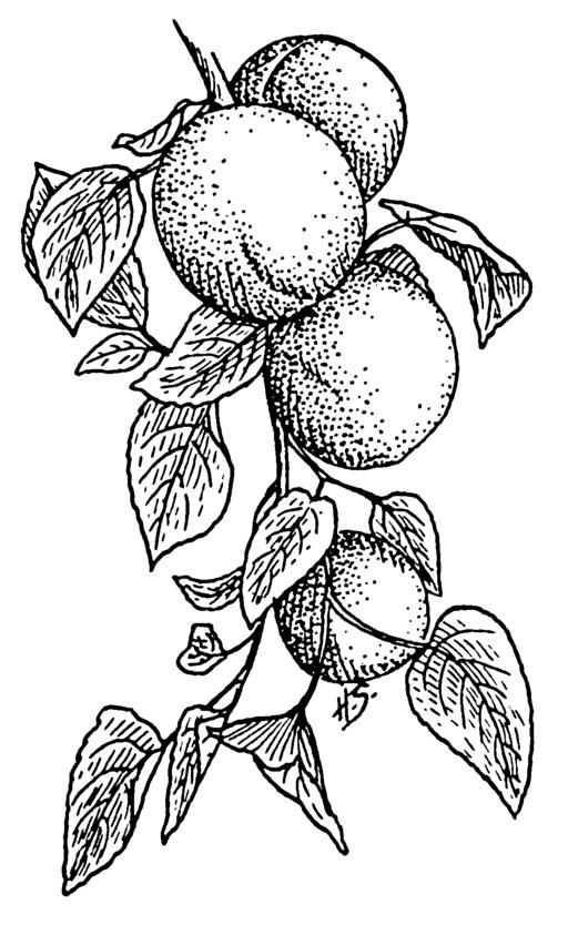 Quatre abricots sur une branche