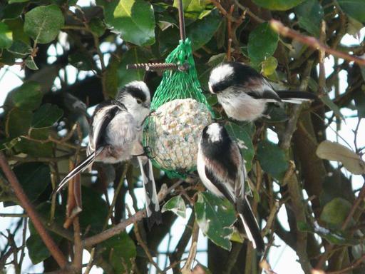 Quatre mésanges à longue queue en hiver