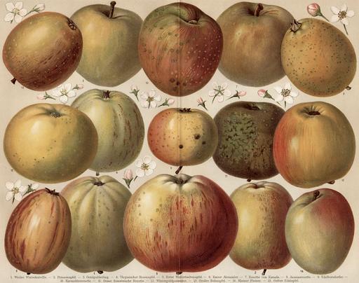 Quinze variétés de pommes mûres