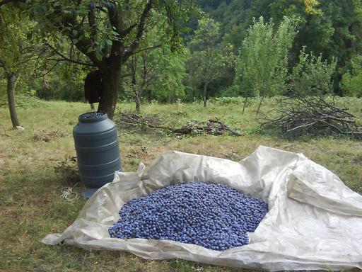 Ramassage des prunes mûres