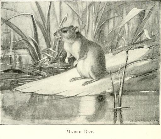 Rat des marais