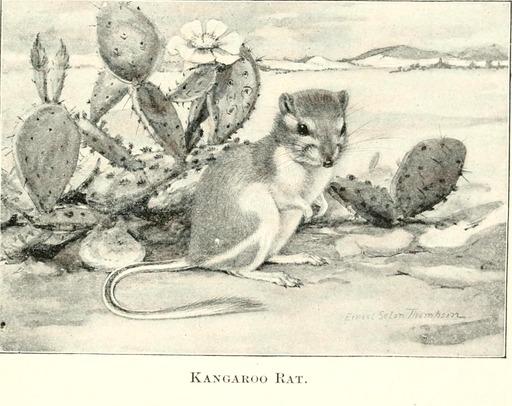 Rat-kangourou du désert