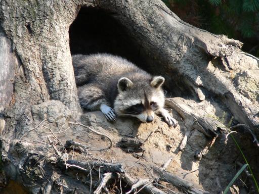 Raton laveur dans un arbre creux