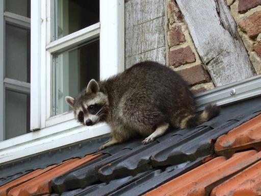 Raton laveur sur le toit d'une maison
