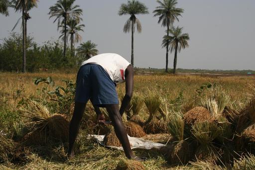 Récolte du riz en Casamance
