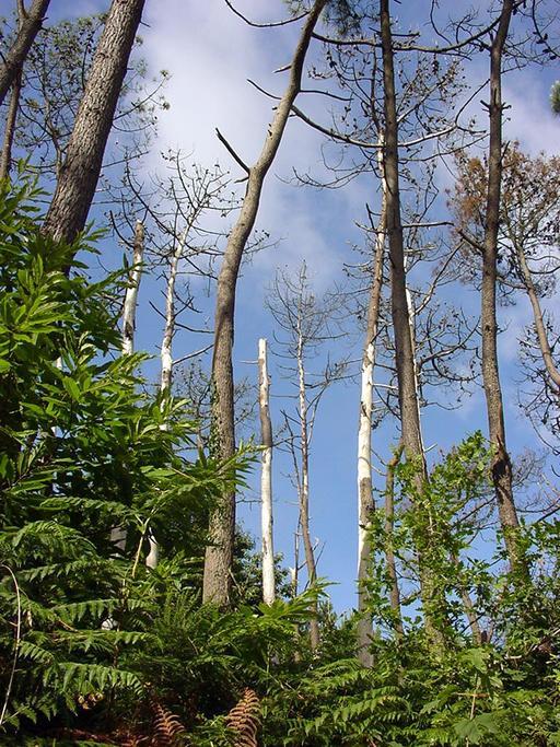 Régénération forestière dans la Presqu'île de Crozon