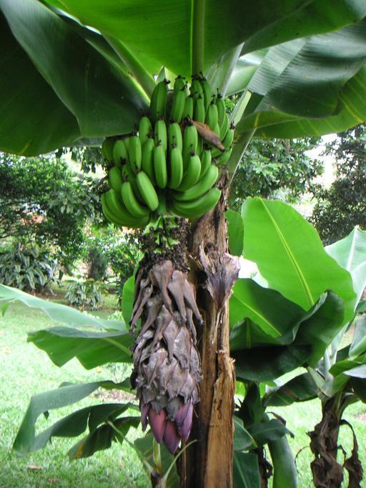 Régime de bananes vertes sur l'arbre