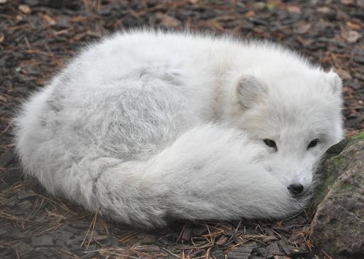Renard polaire couché