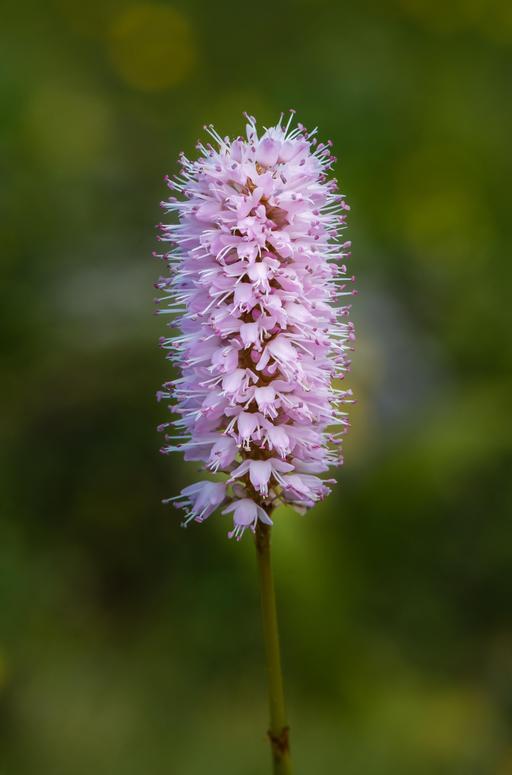 Renouée bistorte en fleur