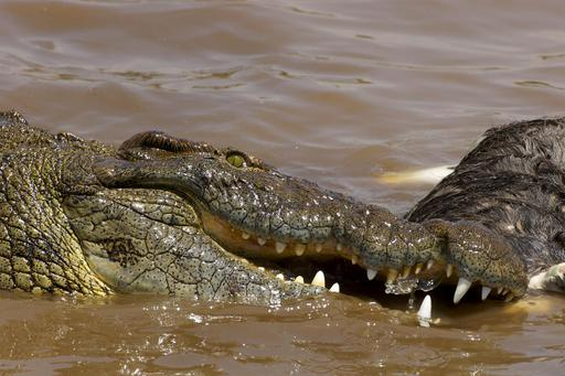 Repas de crocodile