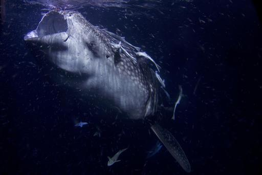 Requin baleine et plancton