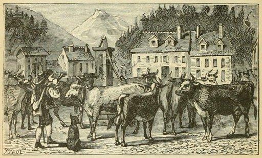 Retour du troupeau de vaches