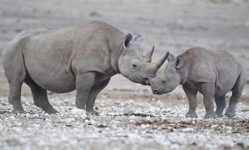 Rhinocéros femelle et son petit en Namibie