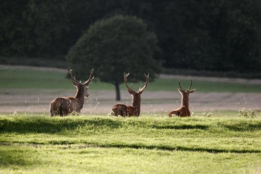 Richmond Park - Londres-Angleterre
