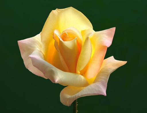Rose de paix