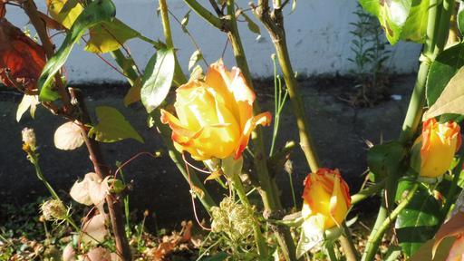 Roses d'août