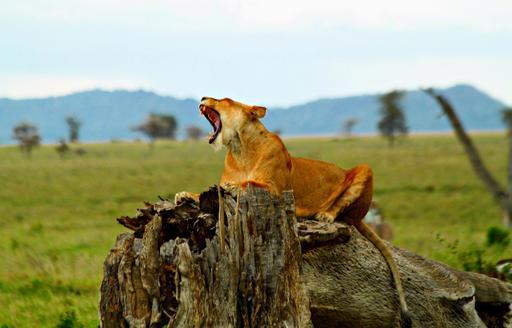 Rugissement d'une lionne