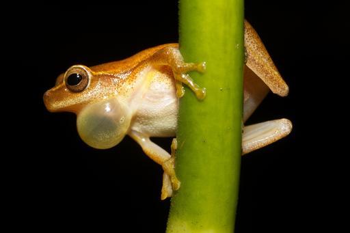 Sac vocal de grenouille mâle