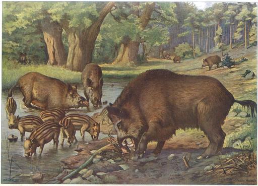 Sangliers sauvages en forêt