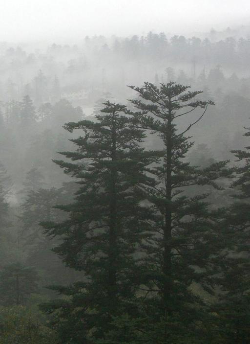 Sapins chinois dans le brouillard