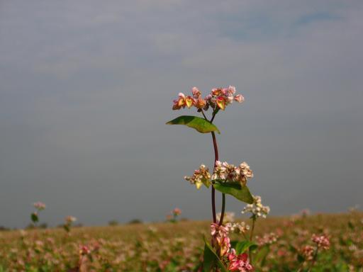 Sarrasin en fleurs dans une ferme bio