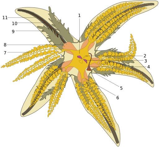 Schéma d'une étoile de mer