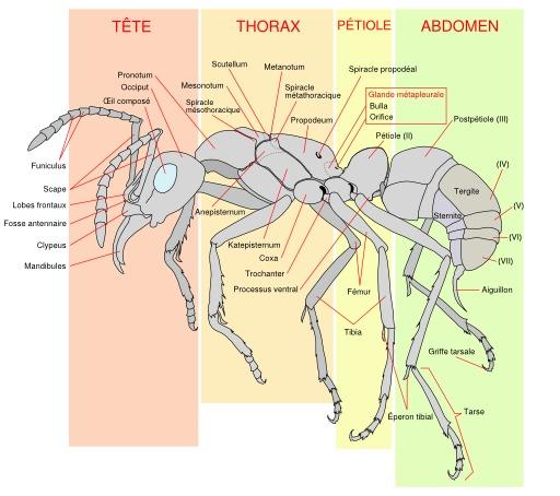 Schéma d'une fourmi